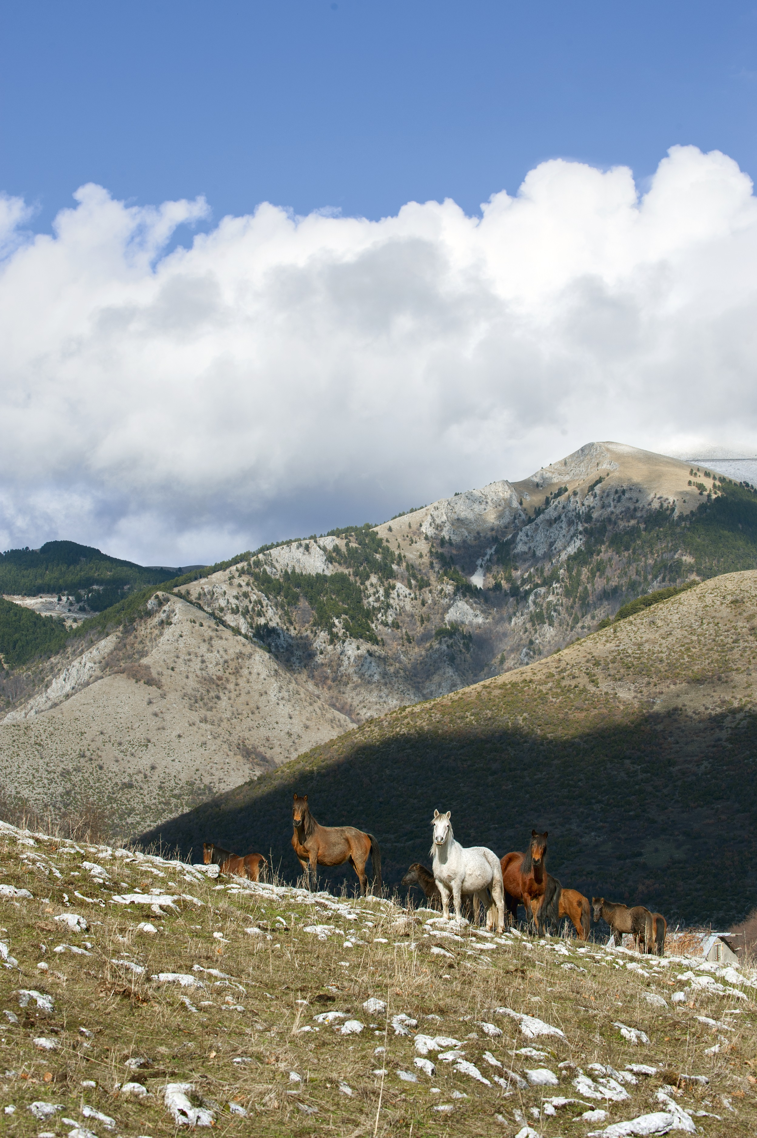 fa155a1eca7 «Άγρια» άλογα στην περιοχή του οροπεδίου Σίτνα στο Φαλακρό. Πριν από  χρόνια, ένας μερακλής τσέλιγκας του Φαλακρού απελευθέρωσε συνειδητά τα άλογα  του ...