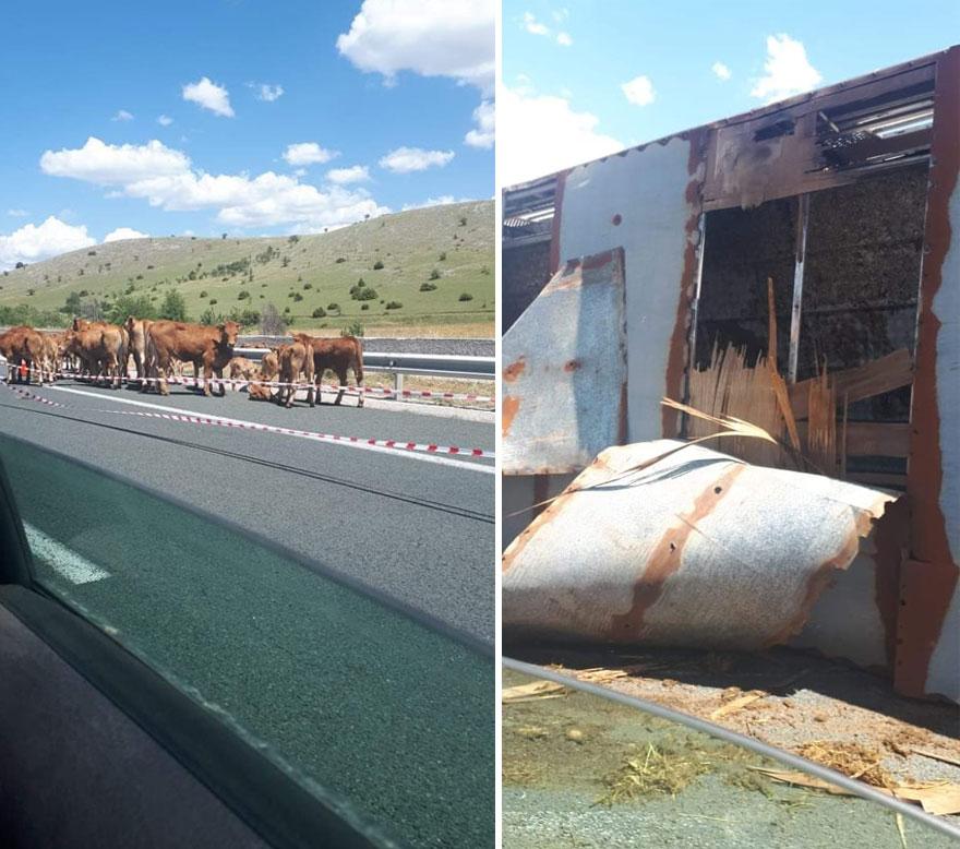 Εγνατία Οδός: Αστυνομικοί κλήθηκαν να βάλουν στην άκρη αγελάδες - Μετά την ανατροπή φορτηγού που τις μετέφερε
