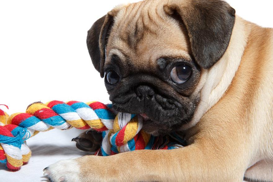 c2f1686d8941 Η κακοσμία του στόματος που προκαλει και την άσχημη ανάσα του σκύλων  εμφανίζεται όταν αναπτύσσονται βακτήρια μέσα στη στοματική τους κοιλότητα